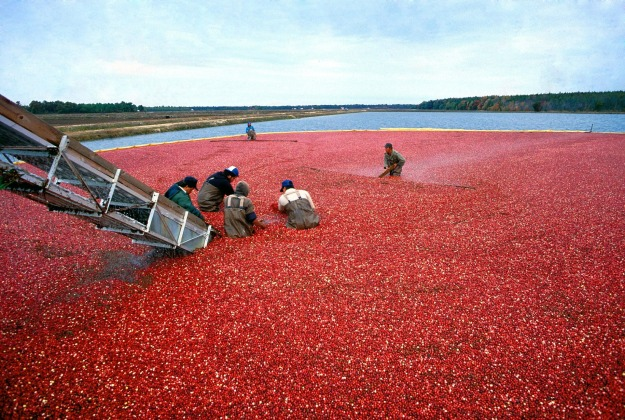 cranberry-387284_1920