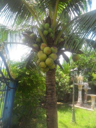 Coconut- palm-drupe