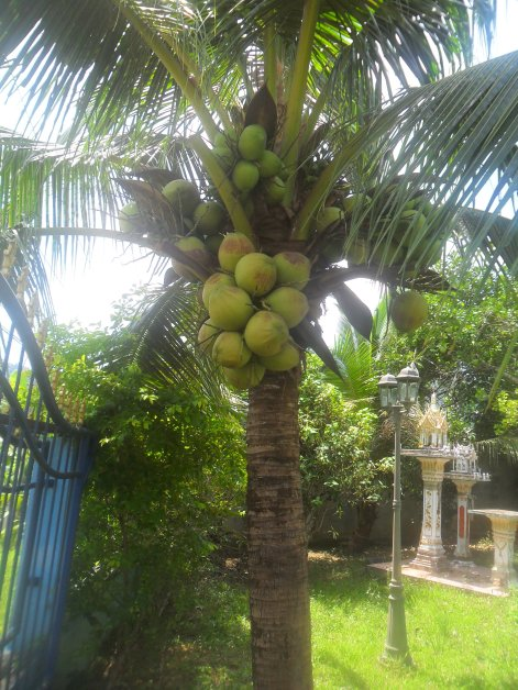 Coconut- palm-drupe