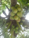 coconut- palm-