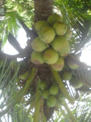 coconut- palm-