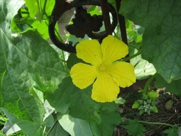 loofah-vine-loofah-flower-vine-flowering-vine