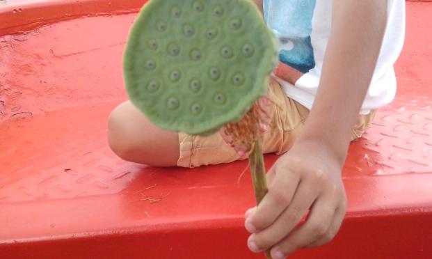 lotus flower-seed pod