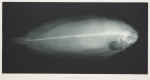 x ray fish 1