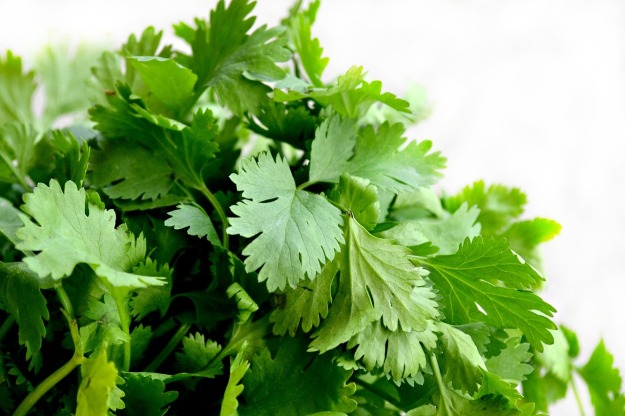 cilantro or coriander-1287301_1280
