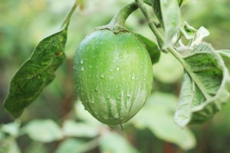 thai egg plant