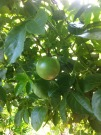 Passion fruit on tree