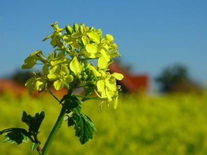 mustard-1750267_1920