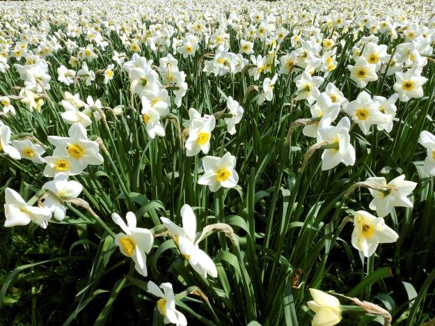 narcissus-1355460_1920