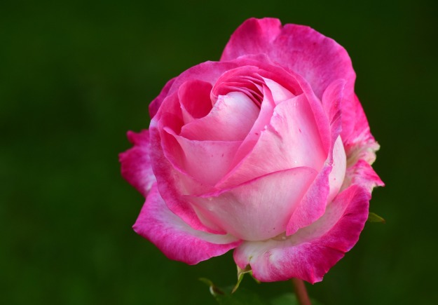 rose-2892821_1920