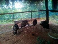 Baby Turkeys 4