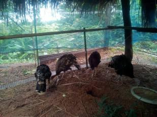 Baby Turkeys 4