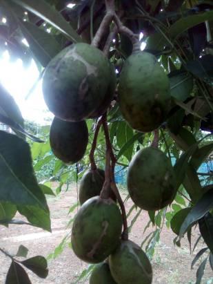 Thai Olive 1