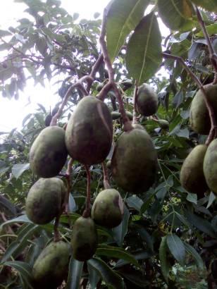Thai Olive 2
