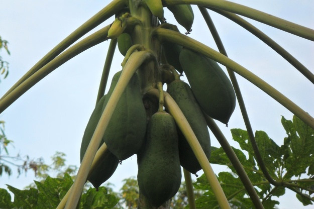 Papaya on tree