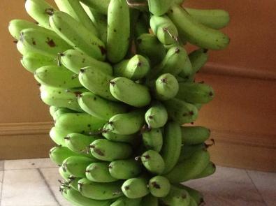 Bunch bananas oct 2017 1