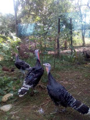 turkeys 21 oct 2