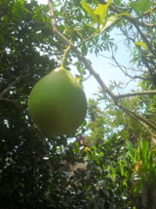 Pomelo- fruit-tree