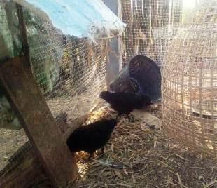Black baby chicks