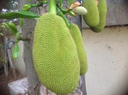 Jack Fruit on tree in my garden