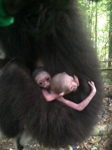 Twins Born @ Bang Pae Gibbon rehab