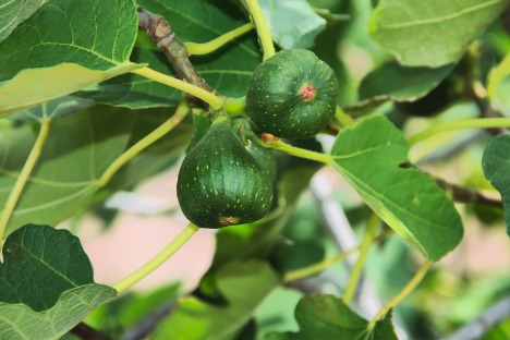 figs-2662883_1920