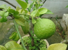 Kaffir Lime tree and fruit