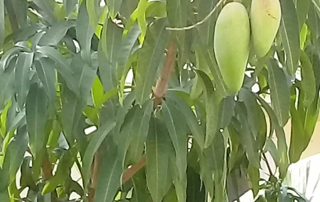 Mango tree in garden