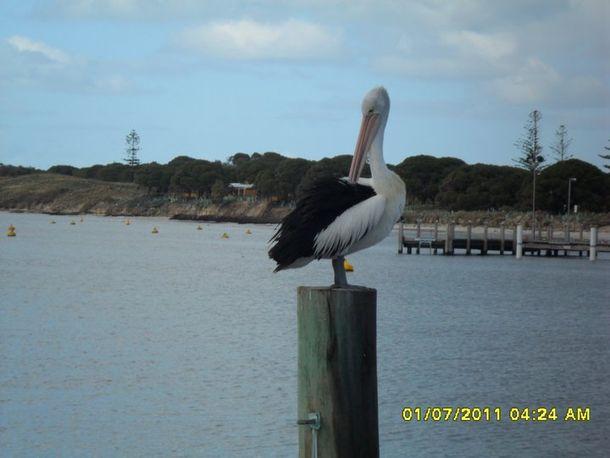 Rottnest Island_Pelican