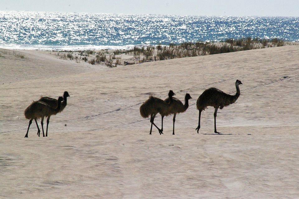 wild-ostrich-lancelin-WA