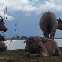 Water Buffalo- Red Lotus Lake