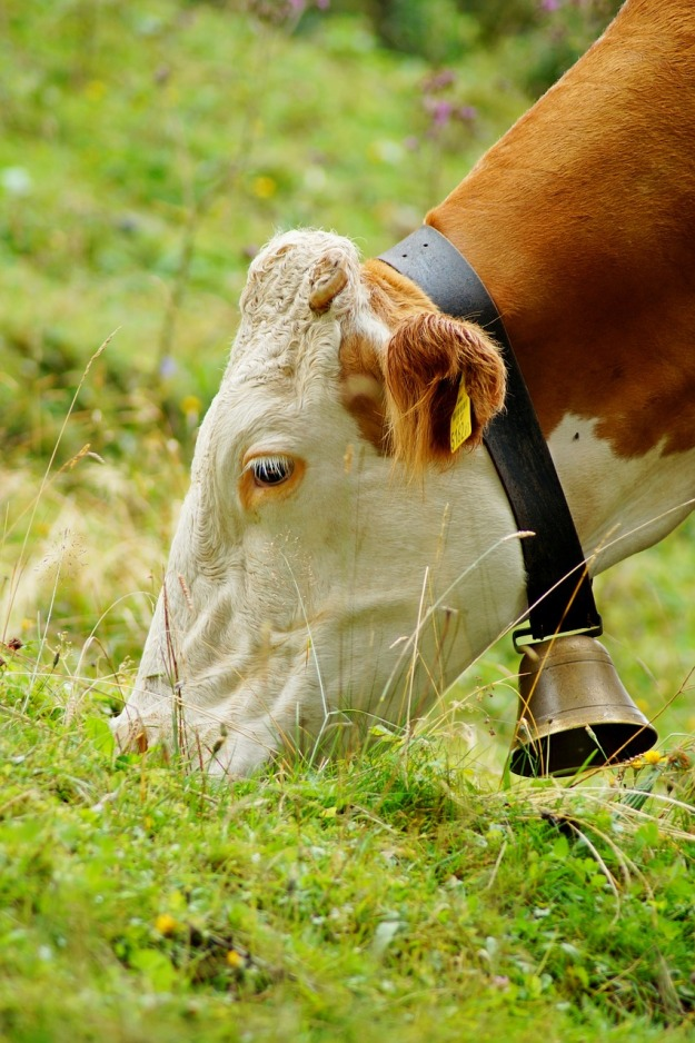 cow-3534338_1280