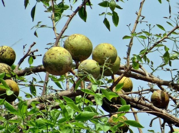 matum tree