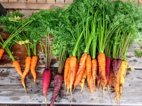 carrots- raw-coloured