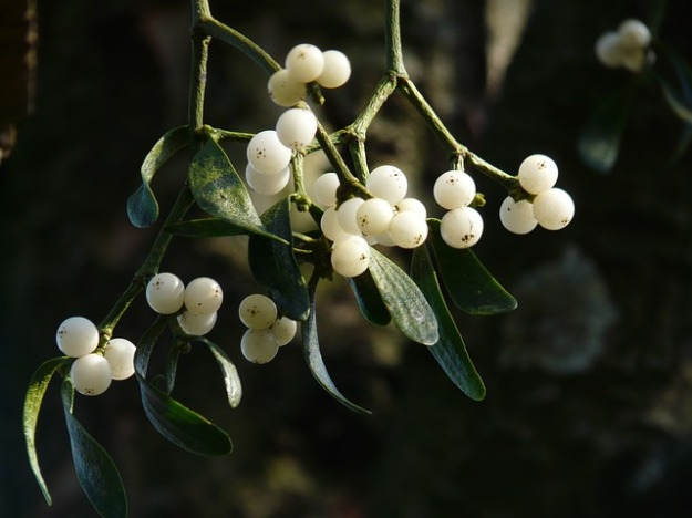 mistletoe-berries-16393_640