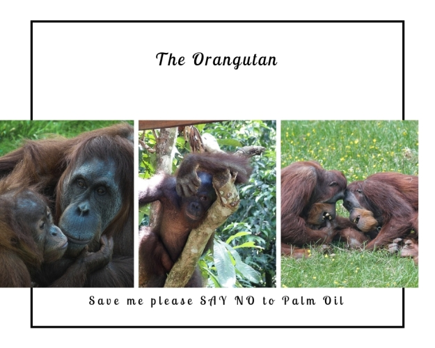 The Orangutan and Palm Oil (1)