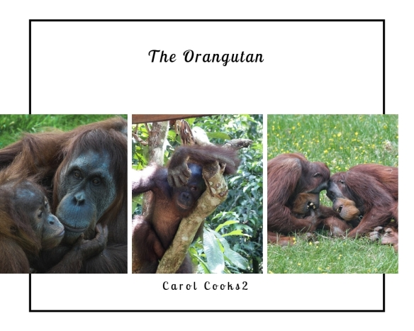 The Orangutan versus Palm Oil…Part One! | Retired? No one told me!