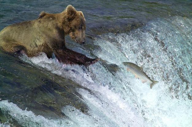kodiak-brown-bear-2042153_640
