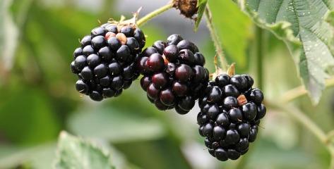 blackberries on the bush