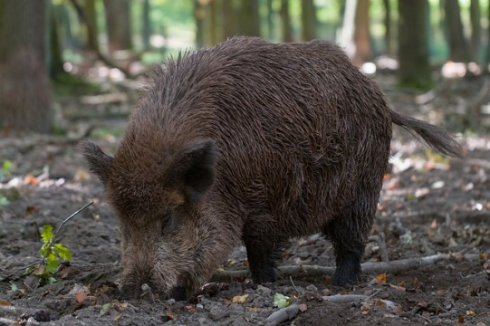 wild boar foraging in woods