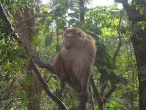 monkey in tree phuket