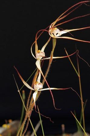 western-wispy-spider-orchid-4069883_640