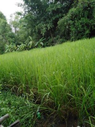 Tiks rice field