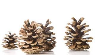 pine cones-1335094_640