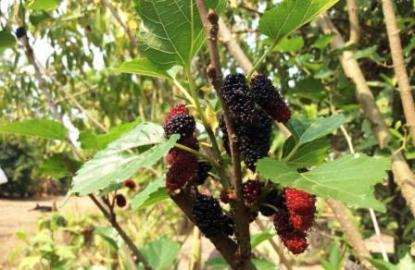 Thai Mulberries
