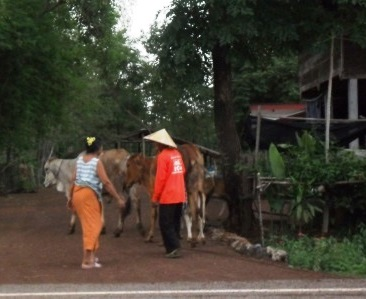herding the cows home