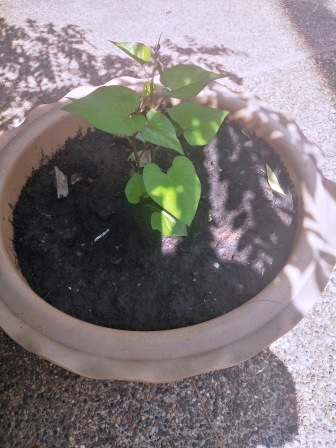 sweet potato seedling