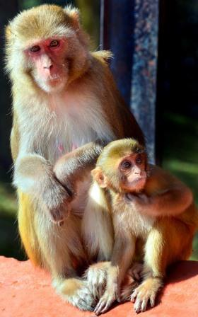 macaque-3141054_640