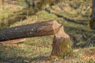 tree felled by a beaver bieber-838438_640