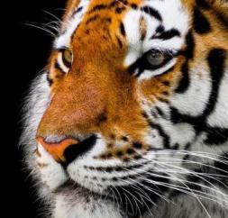 tiger animal-2923186_640